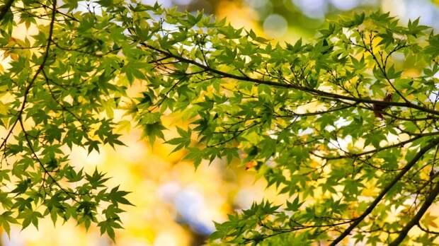 Судьбу клёна на улице Коккинаки определят в Департаменте природопользования