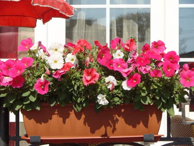 Петуния на балконе. /Фото: moybalkon.com
