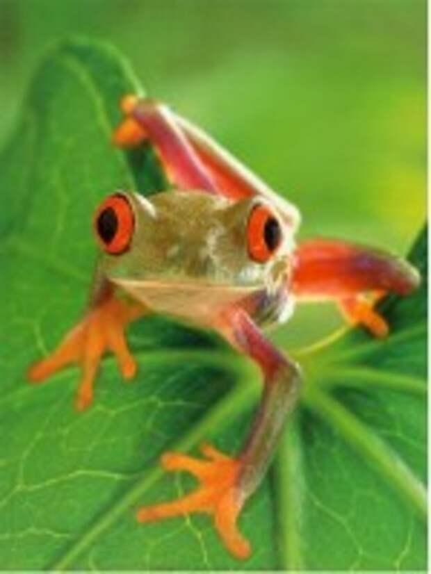 Симорон - лягушка