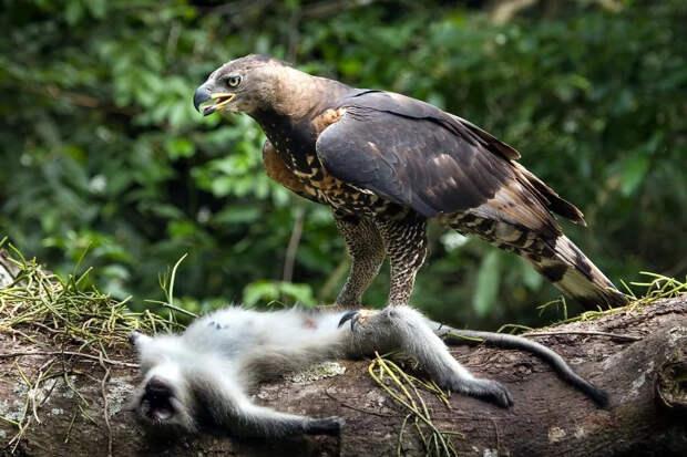 Венценосный орёл: Тактический гений из Африки. Как орёл умудряется побеждать животных в 5 раз крупнее себя?