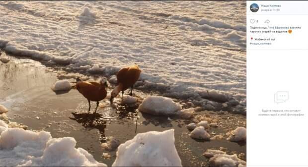 Фото дня: огари осваиваются на Жабенском лугу