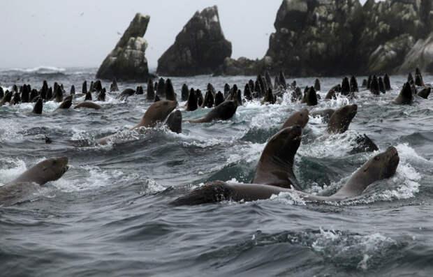 Морские котики на Шантарских островах. Фото взято из открытых источников.