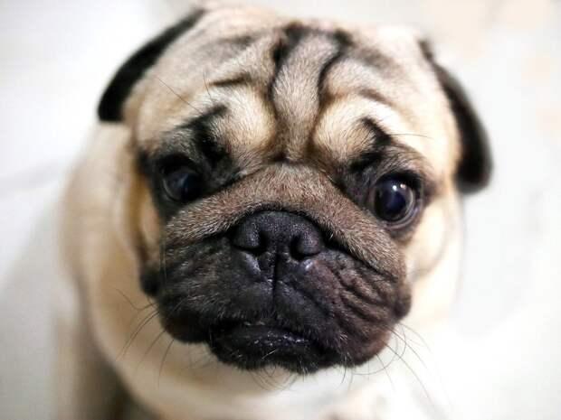 «Как тымогла?»: реакция мопса напакет сизображением пса рассмешила Сеть