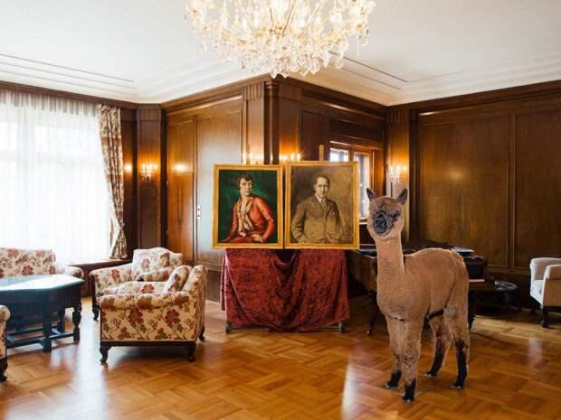 12 милых фото классных альпак, которые живут в отеле и заходят выпить в бар