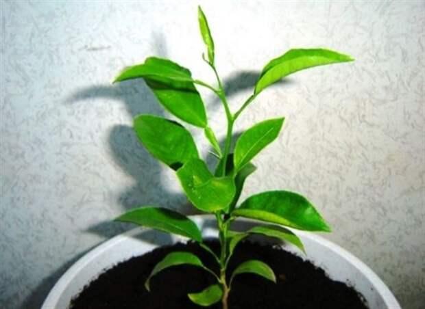 Выращиваем мандарин у себя дома. Пошаговая инструкция