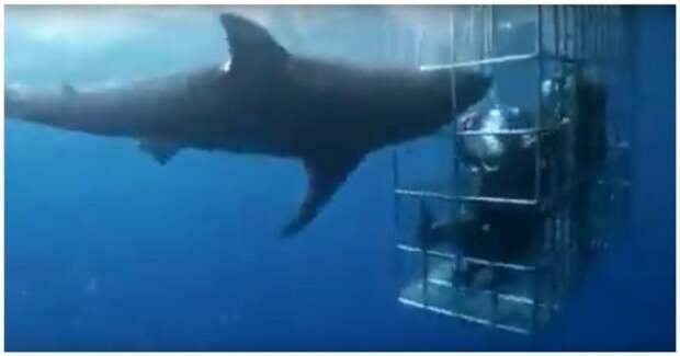 Акула самоубилась, пытаясь дотянуться до сидящих в клетке дайверов