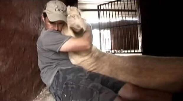 Парень зашёл в вольер к львице с малышами. Вот как он отреагировала на это!