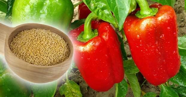 Дачник Федор рассказал, как с помощью обычного пшена получить богатый урожай сладкого перца