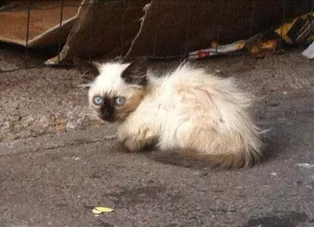 Балинезийский котёнок сидел на улице в ожидании помощи, все проходили мимо, и лишь цыганка остановилась чтобы ему помочь