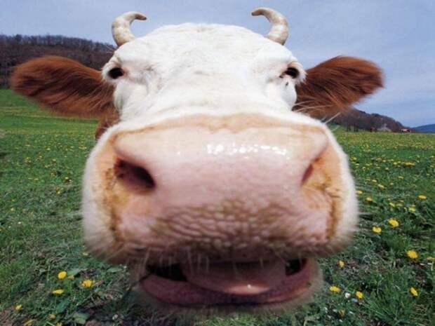 Коровы помогли американским полицейским поймать угонщицу автомобиля ynews, видео, животные, задержание, корова, коровы, прикол, сша, юмор