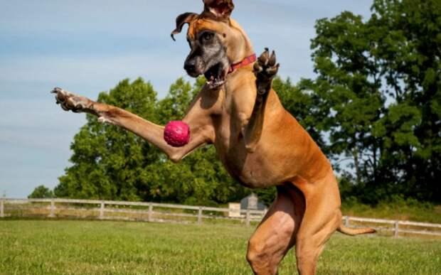 Огромные собаки: мифы придуманные плохими хозяевами