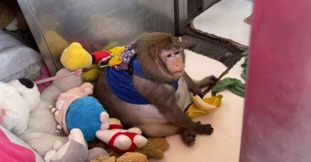 Вы только посмотрите на эту круглую обезьяну! Вот как ее раскормили на рынке в Таиланде
