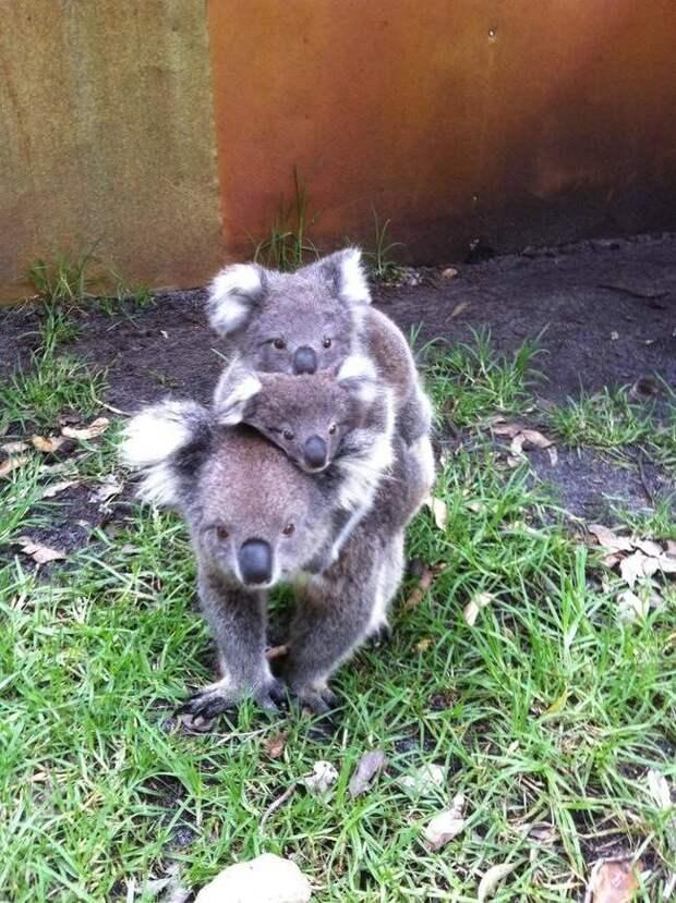 Досье на коалу