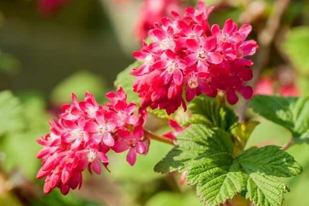 цветки смородины кроваво-красной