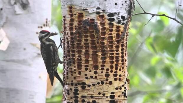Дятел-сосун: Не спасает деревья, а уничтожает в промышленных масштабах. Птица, что пьёт «древесную кровь»