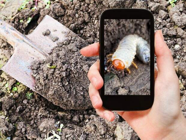 garden concept - man taking photo of white larva of cockchafer on ground on mobile gadget in garden