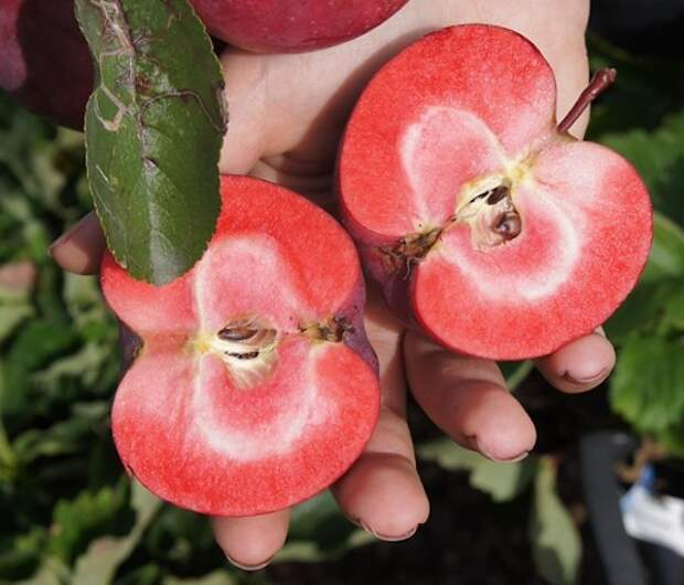 Красномясые сорта яблок