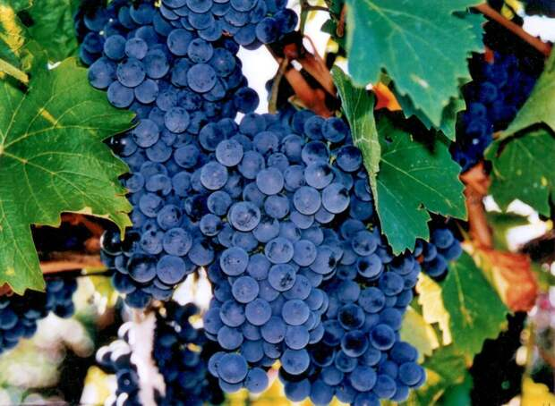 САД, ЦВЕТНИК И ОГОРОД. Морозоустойчивые сорта винограда