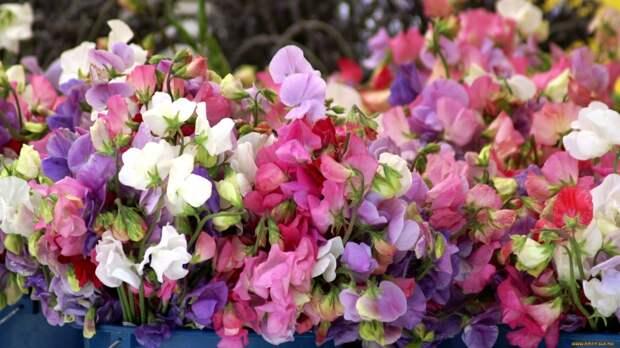 Каждый год выращиваю душистый горошек из семян