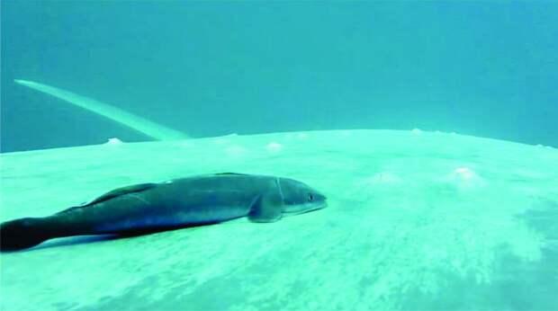Прилипалы выбрали для прилипания к китам области около дыхала и плавников
