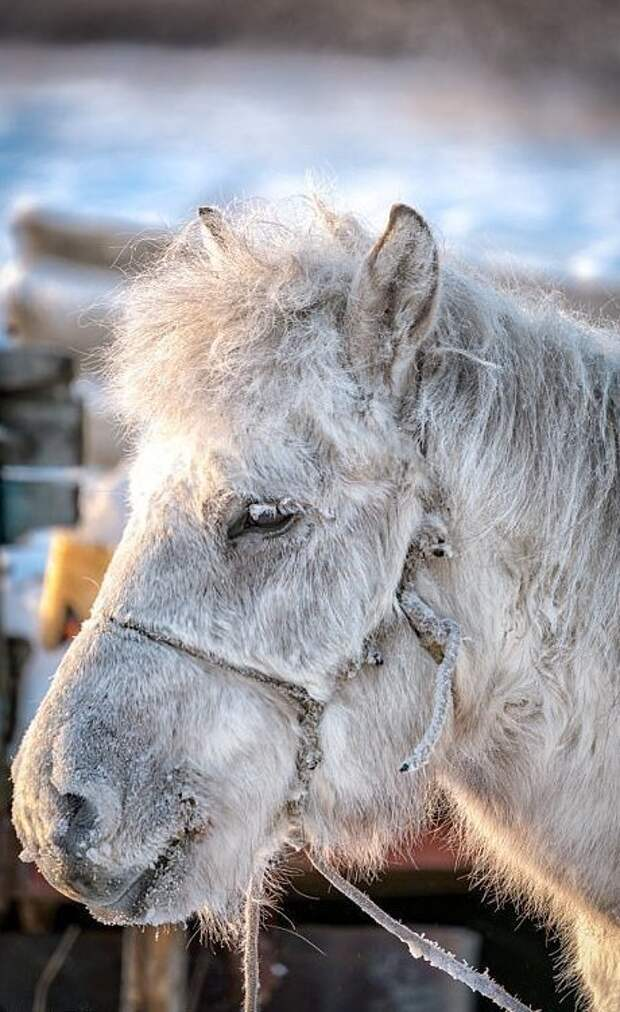 Даже зимой эта лошадь может кормиться травой из-под снега, разгребая его копытами Порода, животные, лошадь, россия, саха, фото, якут, якутия