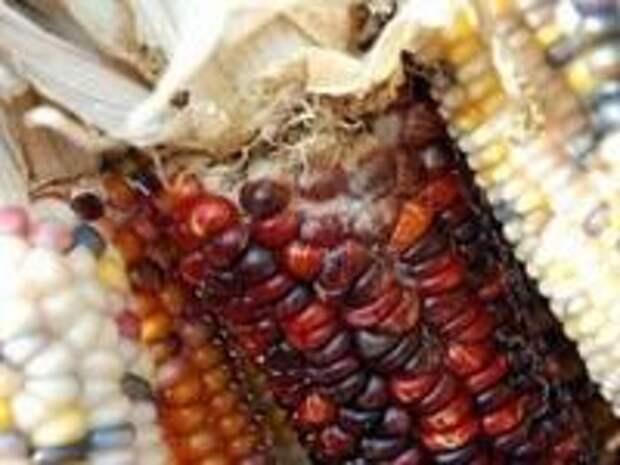 Дикой кукурузы в природе не было. Откуда же она появилась у человека?