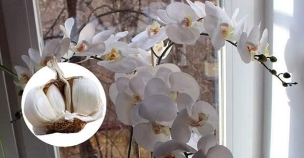 Подкормка, которая гарантирует Орхидее великолепное цветение