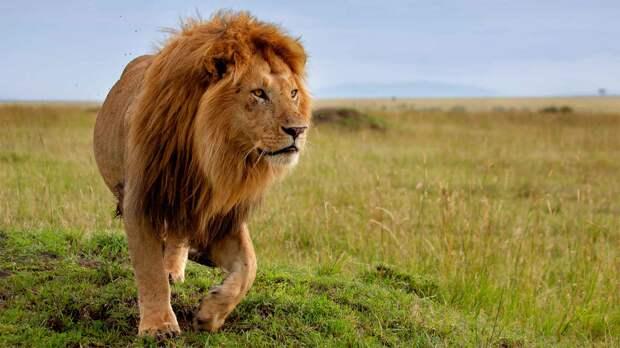 Лев царь зверей потому что он занимается важное место в культуре человека