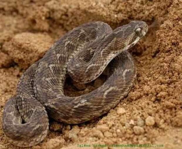 8. Гадюка   змеи, самые ядовитые, топ, топ-10