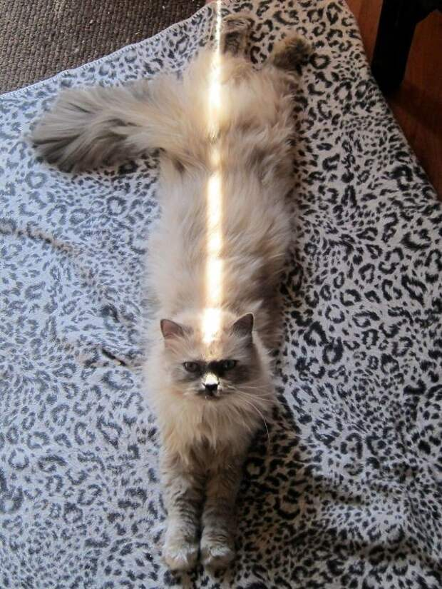 Она знает, как получить максимум даже от полоски солнечного света животные, котики, лучи, погреться, солнечные ванны, солнце, температура, тепло