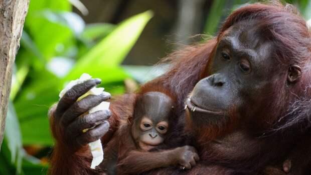 орангутан с детенышем
