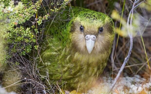 Приятно пахнущий какапо стал птицей года в Новой Зеландии