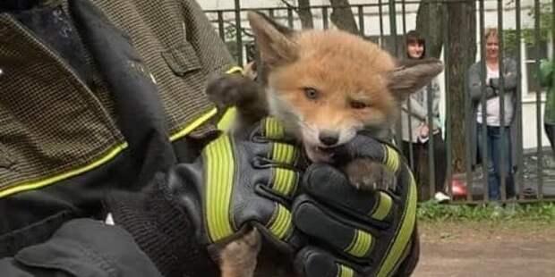 Рыжие гости столицы: в Москве спасли лису и пятерых лисят