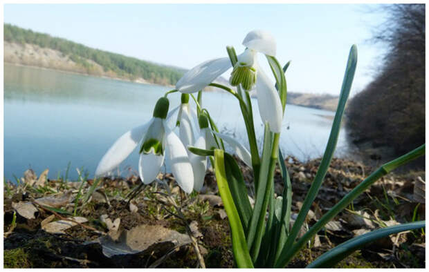 Очень редкий Galanthus woronowii Losinsk. — Подснежник Воронова (с широкими листьями и небольшими белыми цветками, внутренние лепестки которых как будто заштрихованы зеленым. интересное, подснежники, сорта, факты