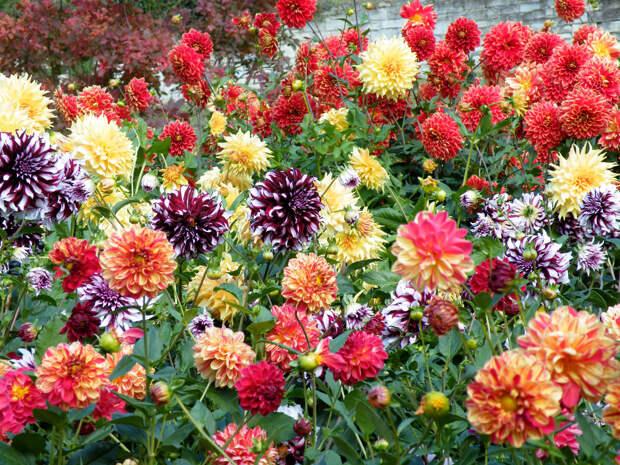 Многолетний садовый цветок Георгина (Dahlia)