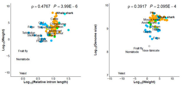 Рис. 6. Зависимость между размерами тела и длиной интронов