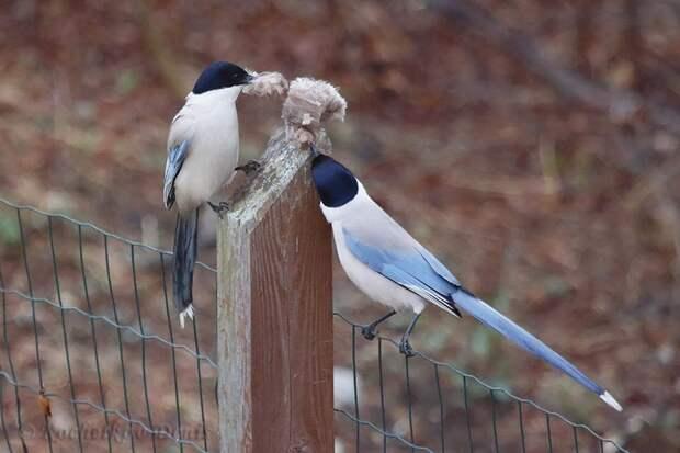 Видели голубых сорок? Фото Кочеткова Дениса