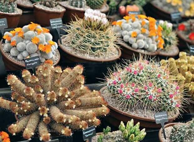 Кактусы уход, цветущие кактусы