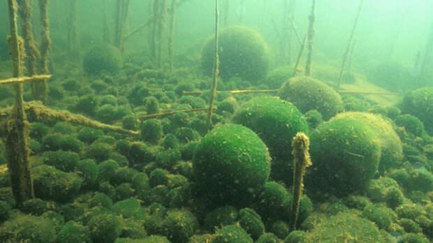 В природе кладофора встречается в пресных водоёмах с прохладной водой
