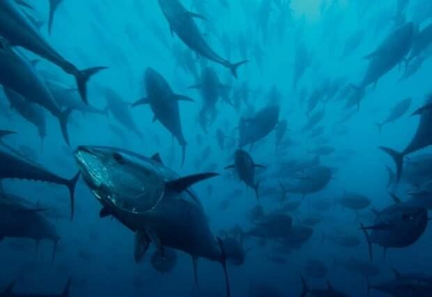 тунец - самый свирепый хищник