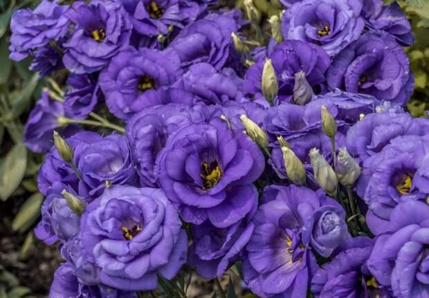 Как посеять эустому зимой – капризную ирландскую розу