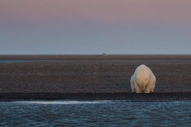 Фотограф приехала на Аляску, чтобы пофотографировать белых медведей, но не нашла там снега