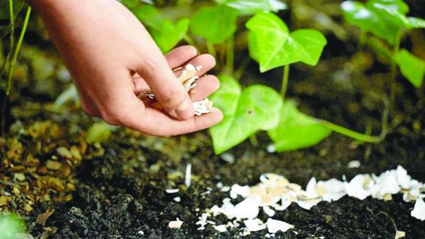 Урожай растет быстрее после внесения яичной скорлупы