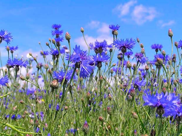 Многолетний садовый цветок Василек (Centaurea)