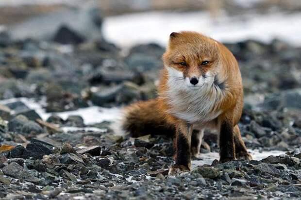 Рыжие пушистики: фотоподборка очаровательных лис (20 фото)