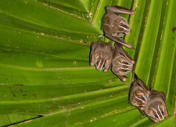 Great_Fruit-eating_Bat_(Artibeus_lituratus)_crop