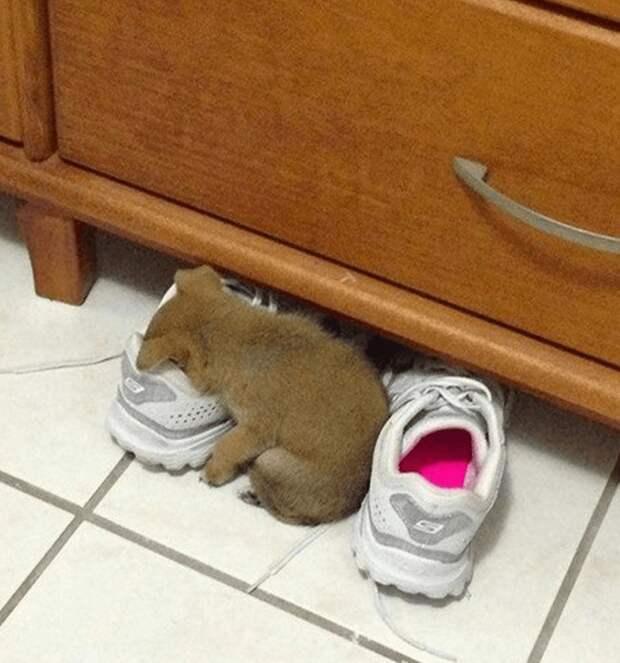 Кроссовок! Отличное место для сна животные, мило, питомцы, подборка, смешное, собаки, сон, фото
