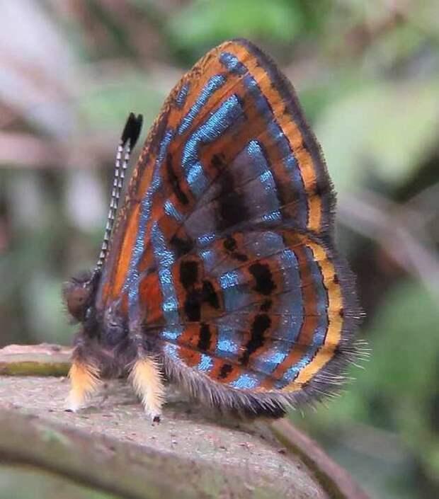 Самцы бабочки Санутрний чуют самку на растоянии до 11 километров бабочки, интересное, красота, насекомые