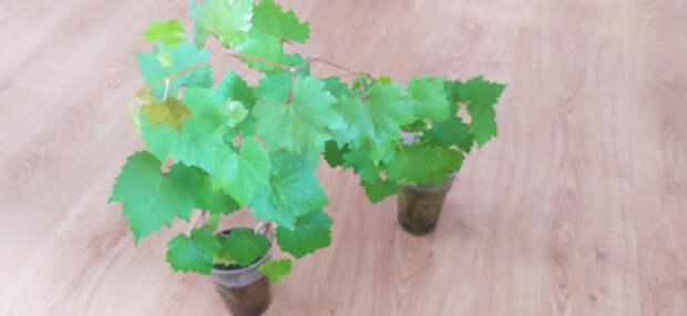 Можно ли вырастить виноград из косточки и получить урожай? Показываю свой опыт.