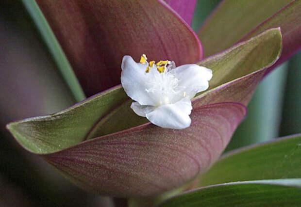 Рео (ладья моисея) − цветок для творческих натур
